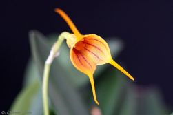 Masdevallia Yellow Tiger-17