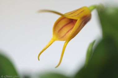 Masdevallia Yellow Tiger-2