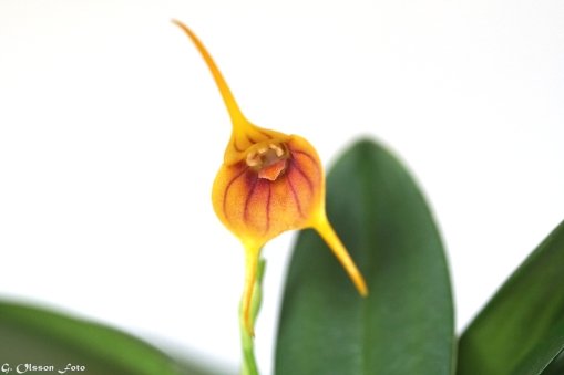 Masdevallia Yellow Tiger-9