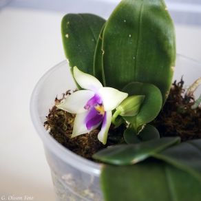 Phal. bellina coerulea-2