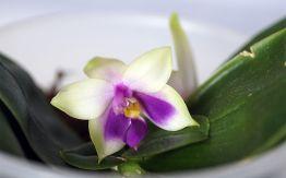 Phal. bellina coerulea-3