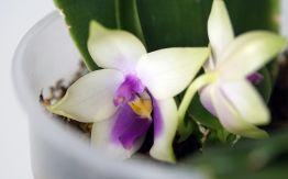 Phal. bellina coerulea-4