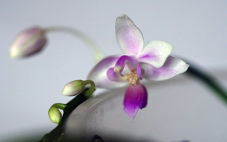 Phal. equestris wild selected-1