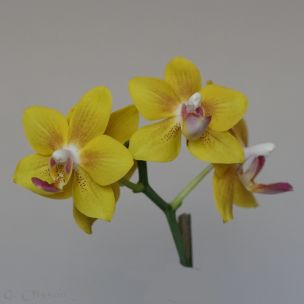 Phal. Little Orange Bird-1