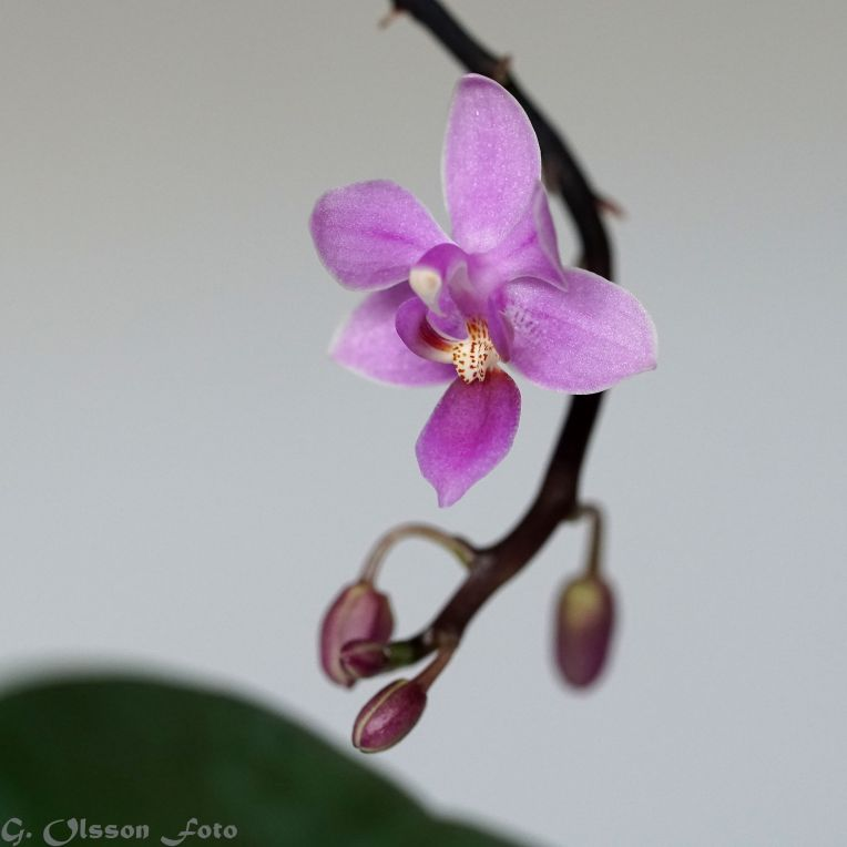 Ursprung: De naturliga formerna förekommer i tropiska fuktiga skogar i Indien, Indonesien och Filippinerna.