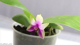 Phal. bellina ^Green^¨-1
