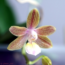 Phal. venosa Chestnu x lindenii-3