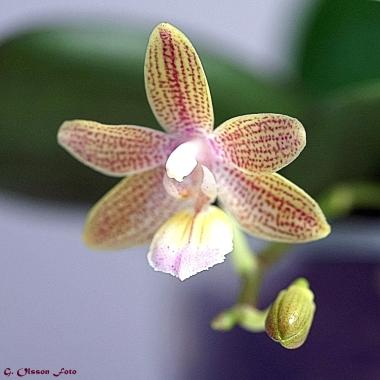 Phal. venosa Chestnu x lindenii-4