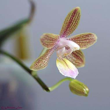 Phal. venosa Chestnu x lindenii-5