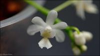 Phal. deliciosa var. alba-5