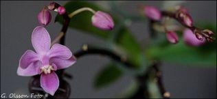 Phal. equestris rosea-3