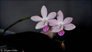 Phal. Janine (speciosa x lindenii)-4