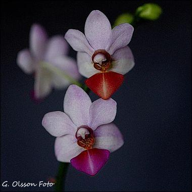 Phal. Jin Ho Cherry x lobbii-4