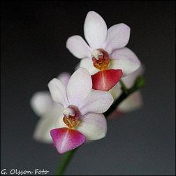 Phal. Jin Ho Cherry x lobbii-6